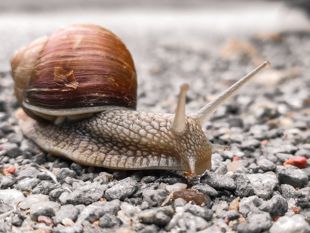 closeup photography of brown snail