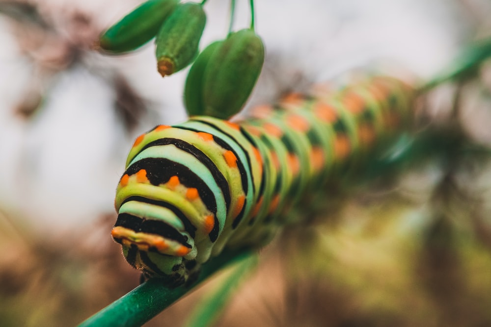 macro photography of green, black, and gray striped caterpillar