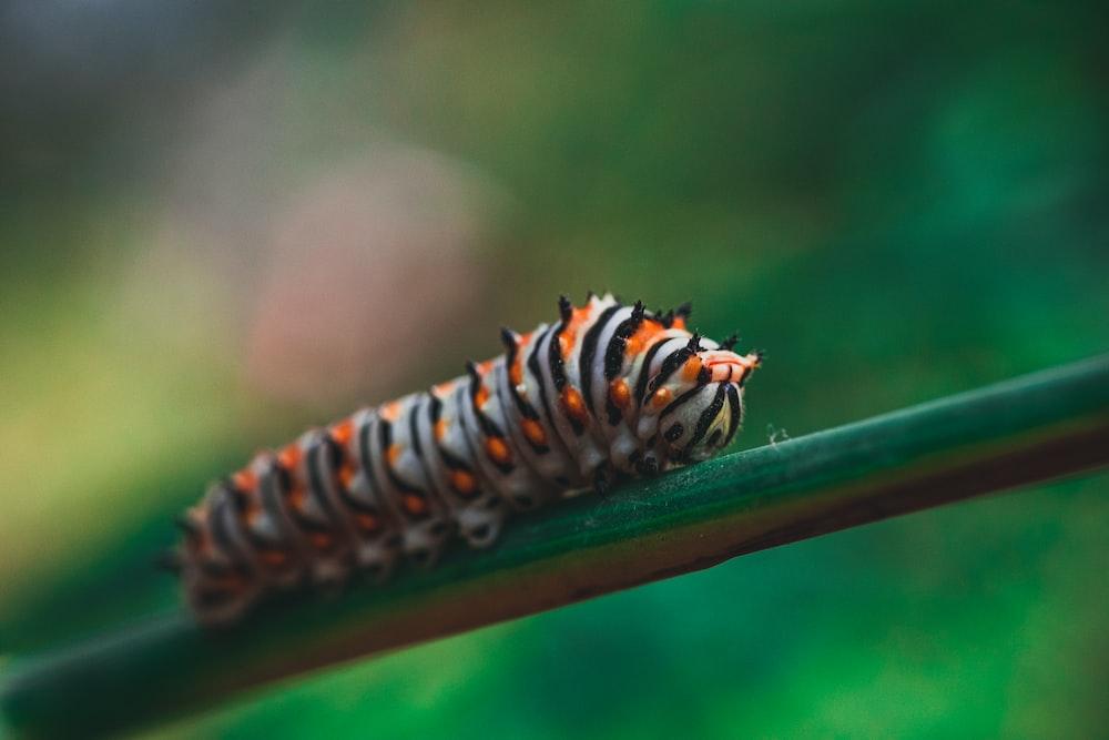 orange, grey ,and black striped caterpillar on stem