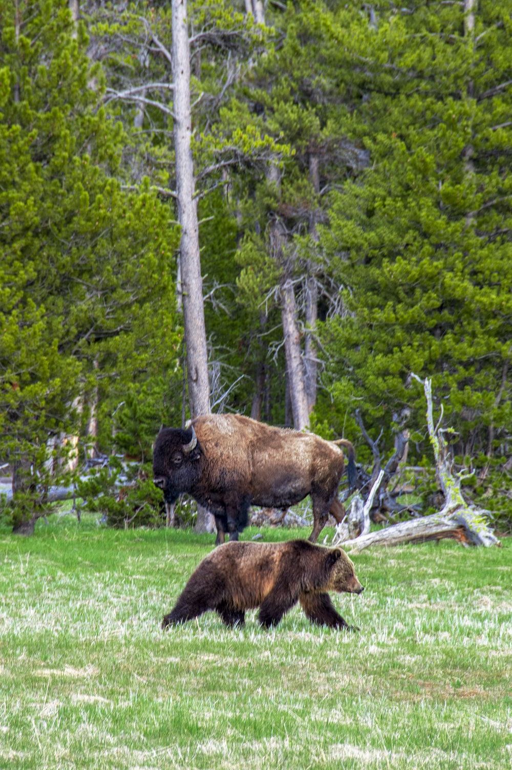 brown bison standing near brown grizzly bear