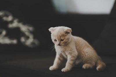 short-haired white cat