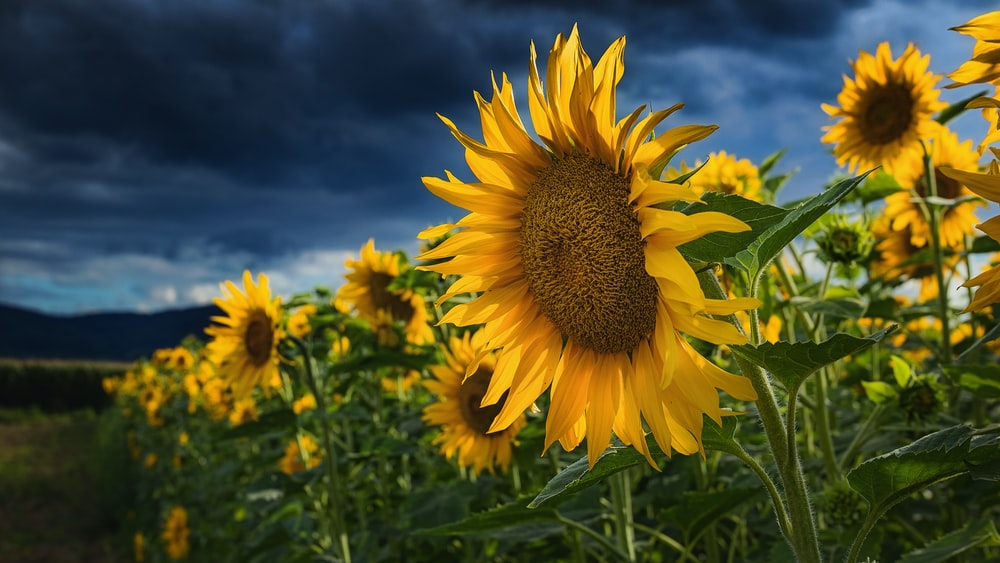 blooming sunflowers under cloudy sky
