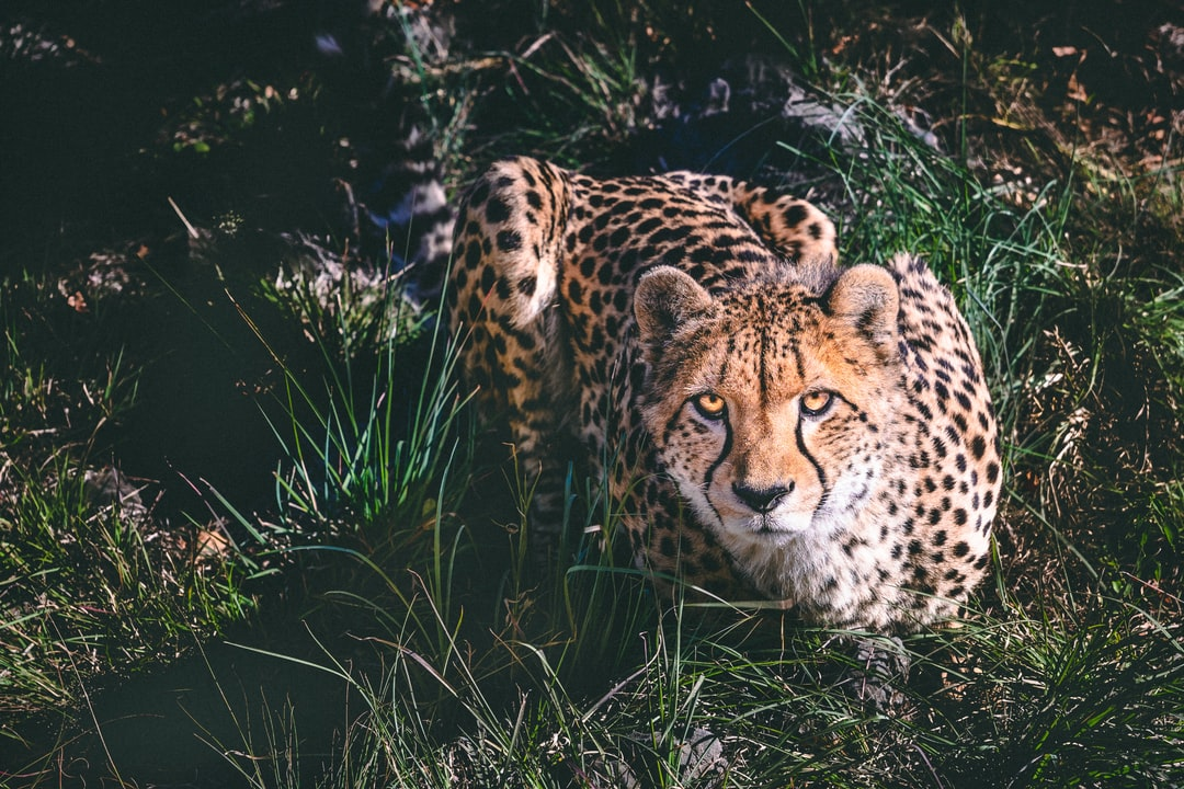 Broederstroom, South Africa - Prowling cheetah in tall grass, trying decide if I'm food or foe.