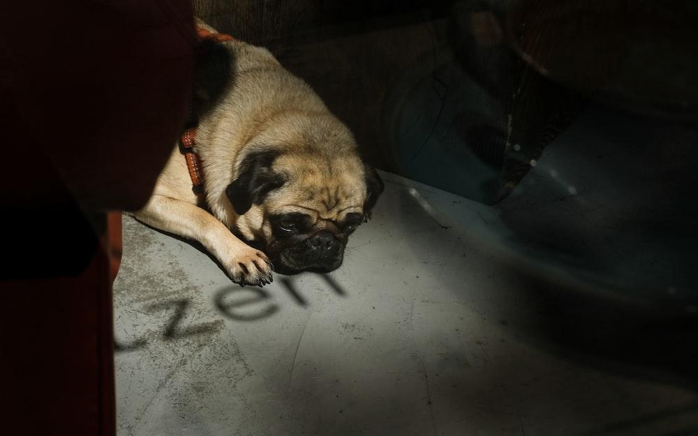 pawn pug on floor