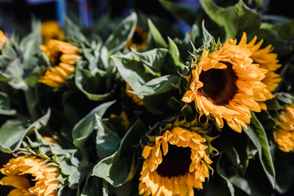 macro photography of blooming yellow sunflowers