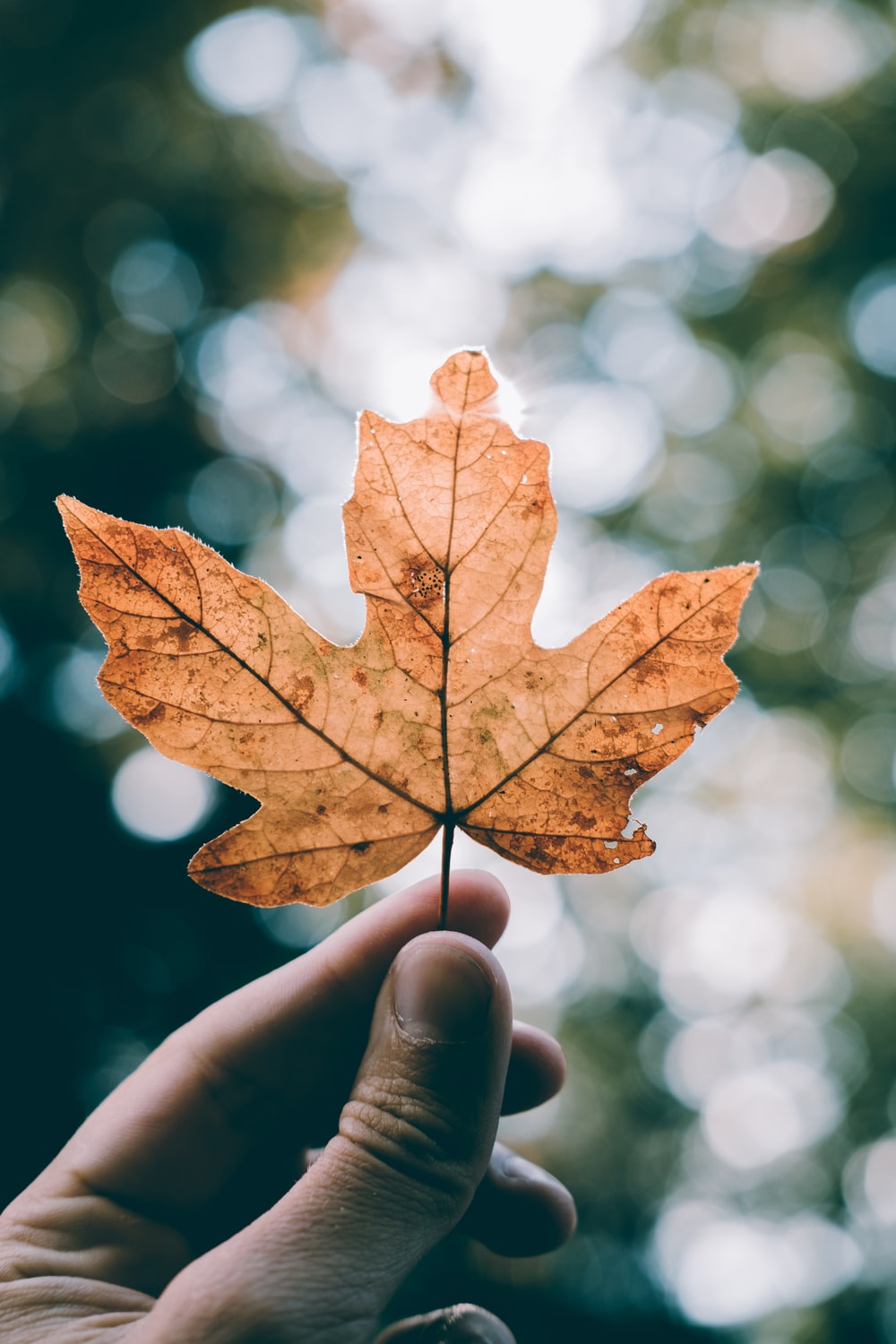 selective focus photo of brown maple leaf