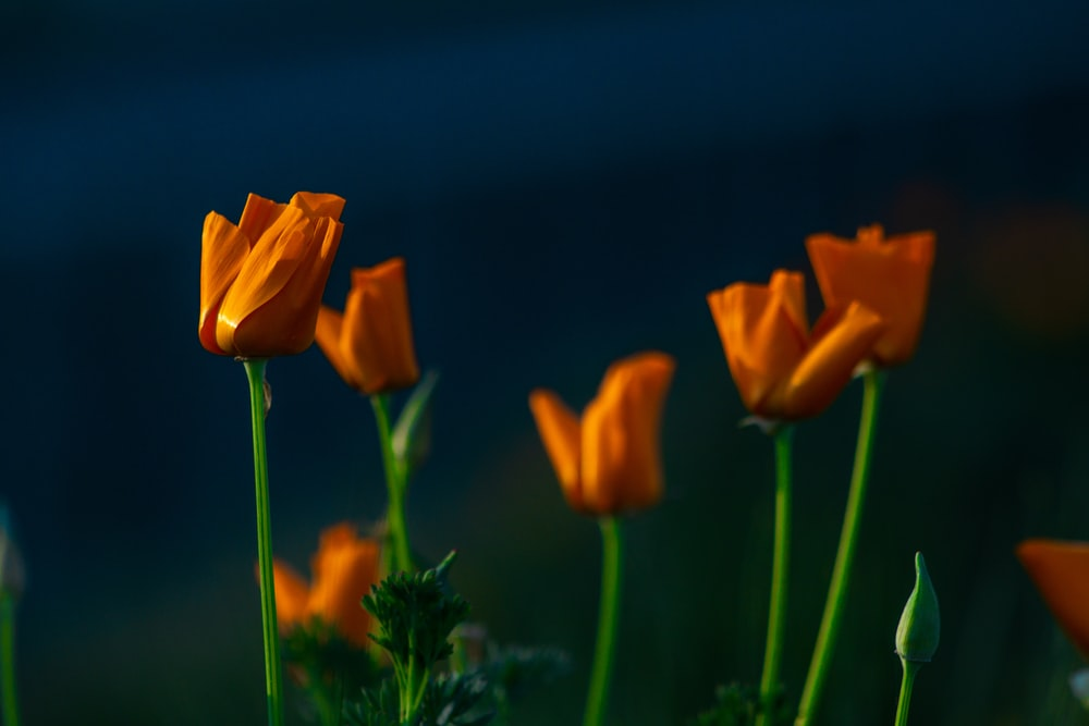 macro photography of orange tulip flowers