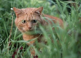 orange tabby cat in grass field