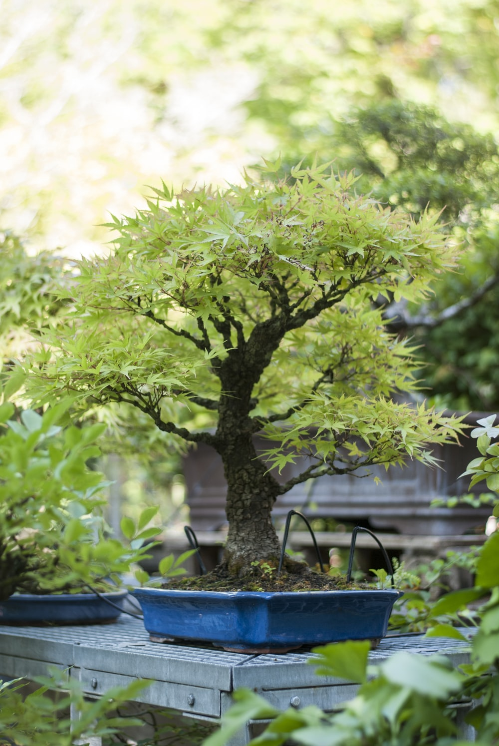 bonsai plant on table in garden