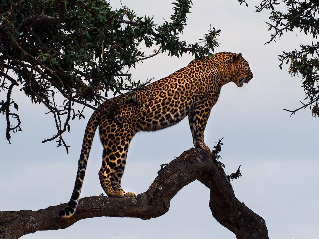 Leopard on tree in Masai Mara