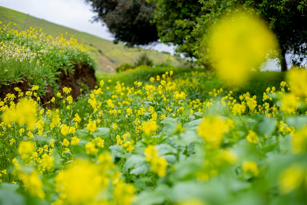 yellow flower field with green leaf
