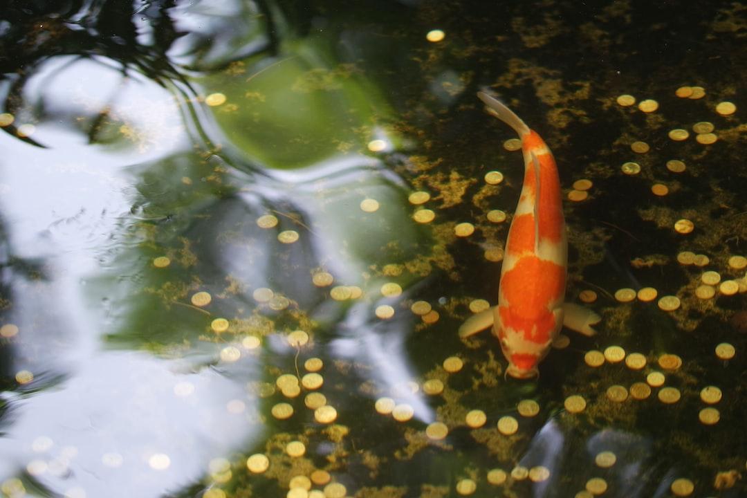 Ikan Koi Adalah Salah Satu Jenis Ikan Jinak