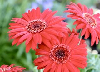 macro photography of red gerbera daisy flowers