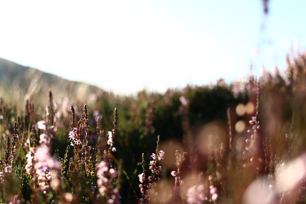 pink meadow flower scenery