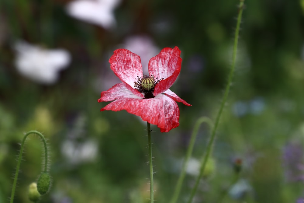selective focus photography of white and red poppy flower
