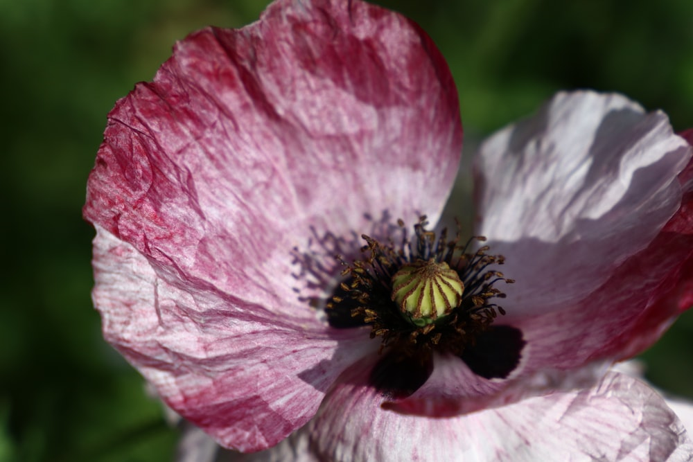 selective focus photography of white-pink poppy flowers