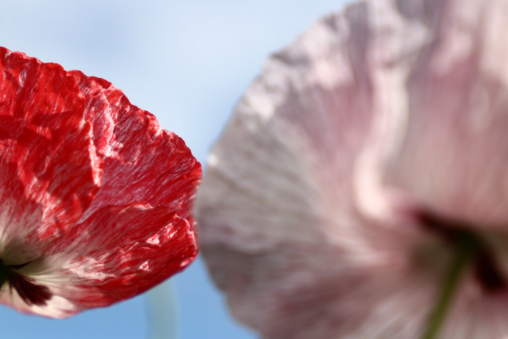 selective focus photography of red and pink poppy flowers