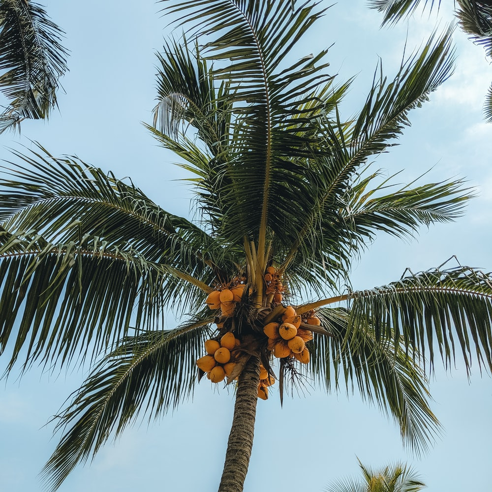 coconut tree during day