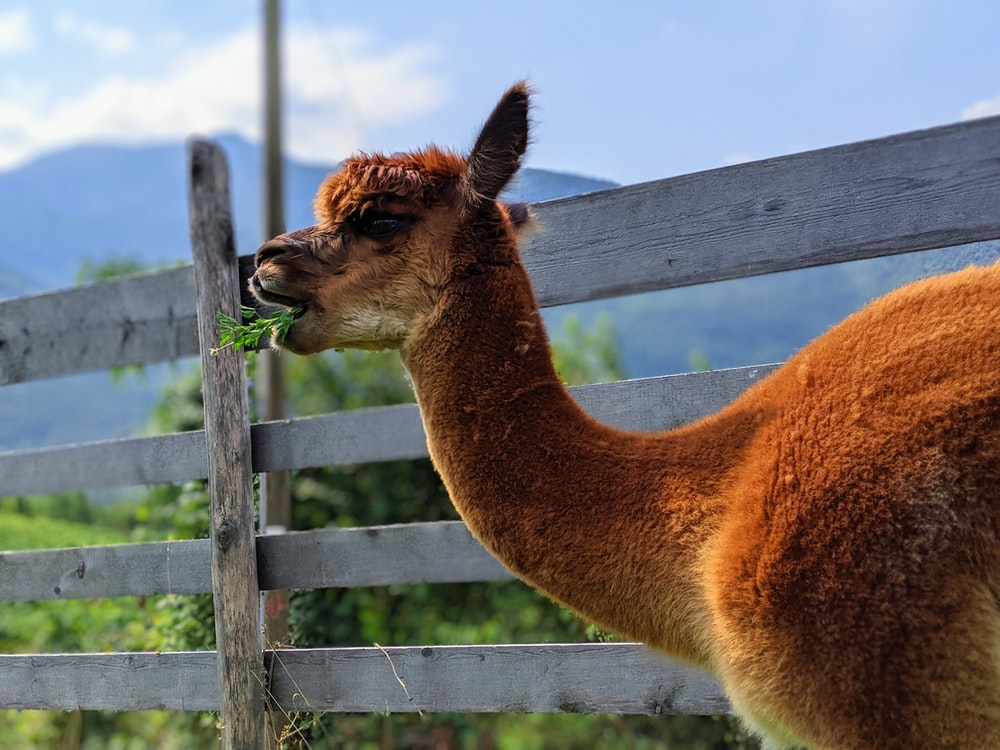 shallow focus photo of brown llama