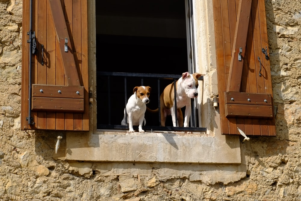 Jack Russell terrier on the door
