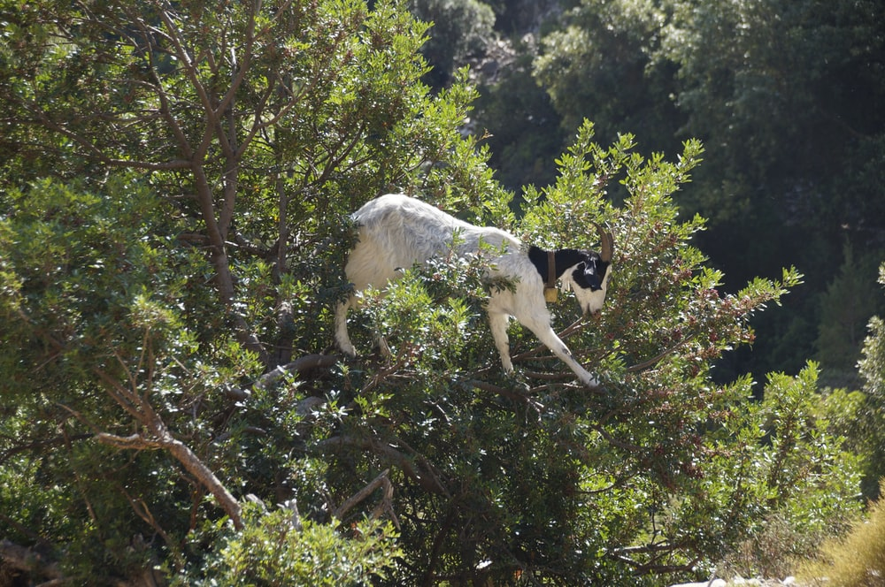 white and black goat in tree during daytime