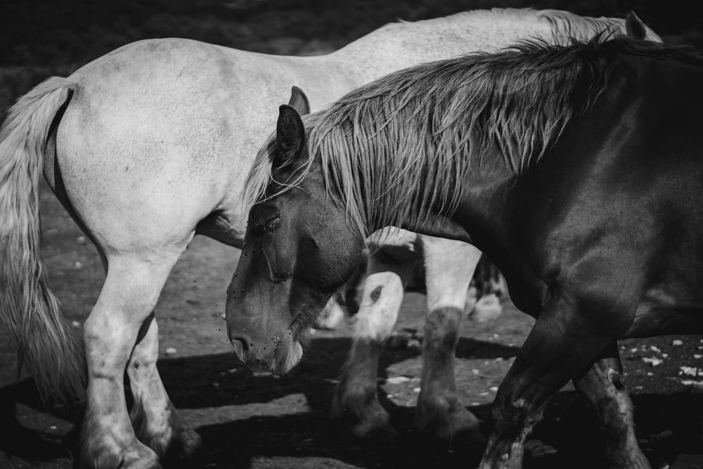 grayscale photo of two donkeys
