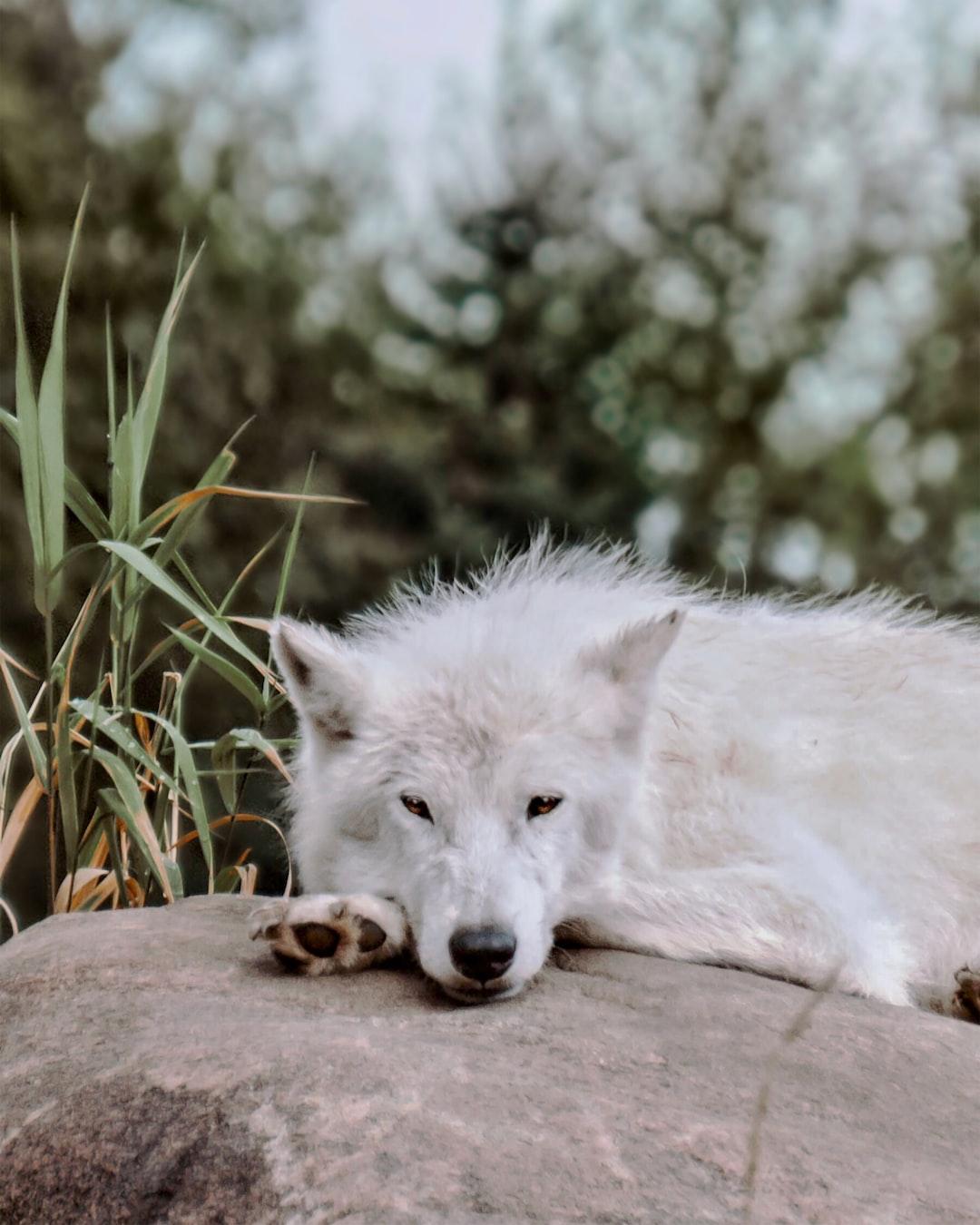 Resting Wolf (insta: @__sham.bam)