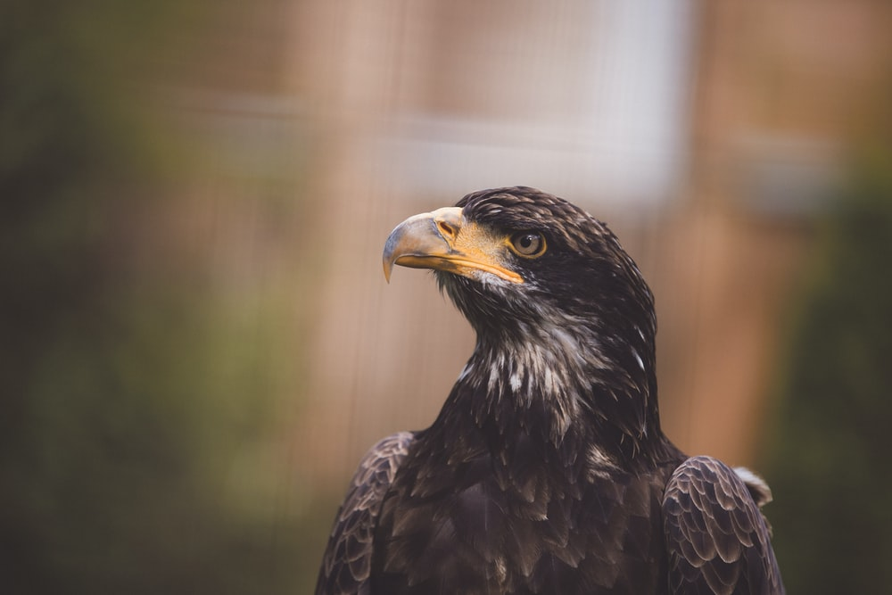 photo of black and gray American bald eagle