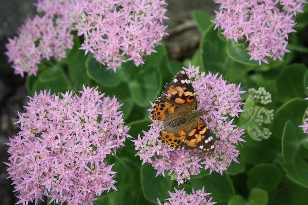 Painted Lady Butterfly resting on green and purple sedum flowers.