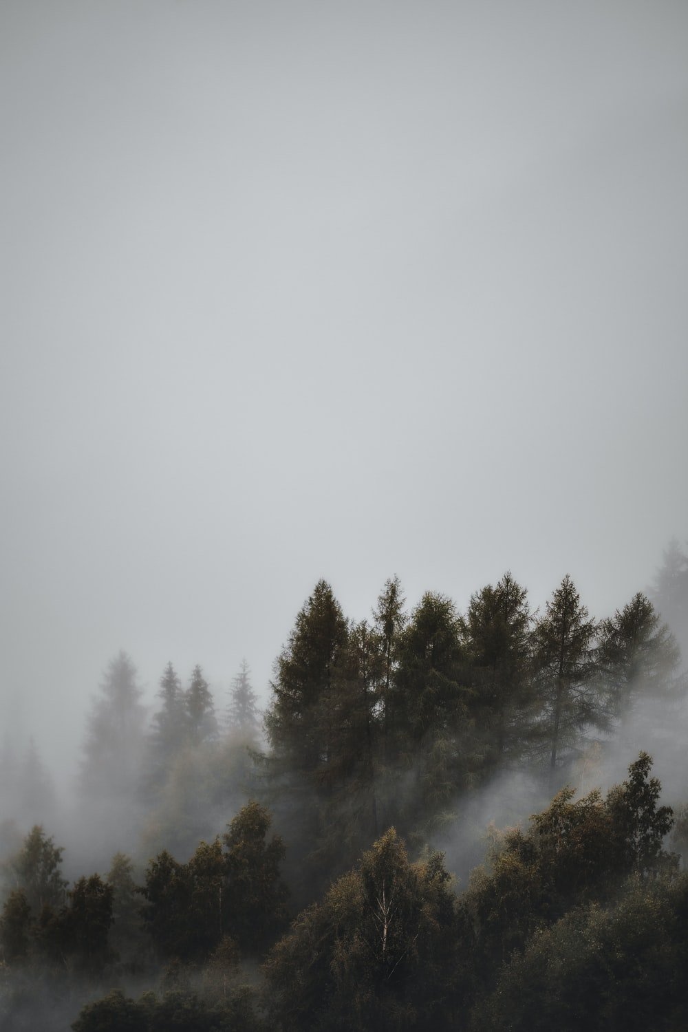 fogs and pine trees