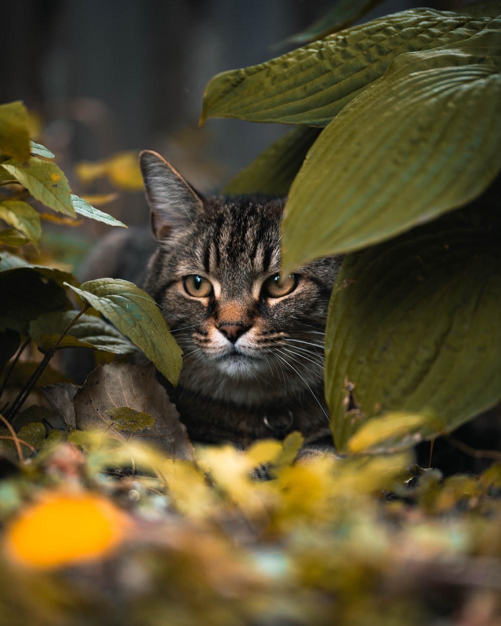 tabby cat behind leaves