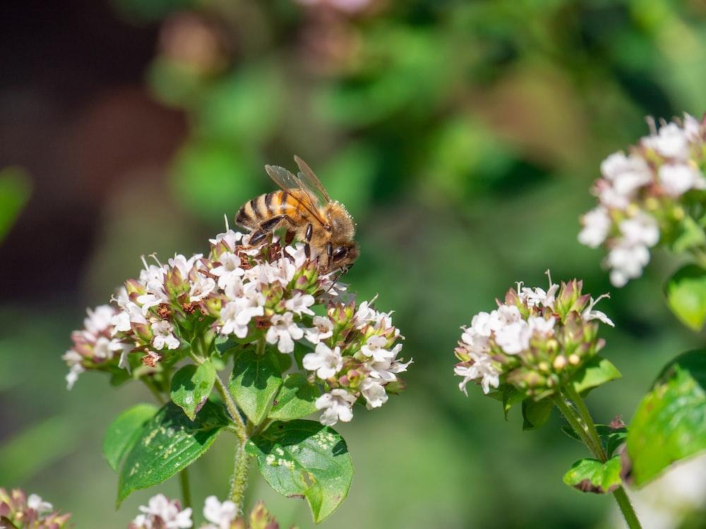brown bee on white petaled flowers