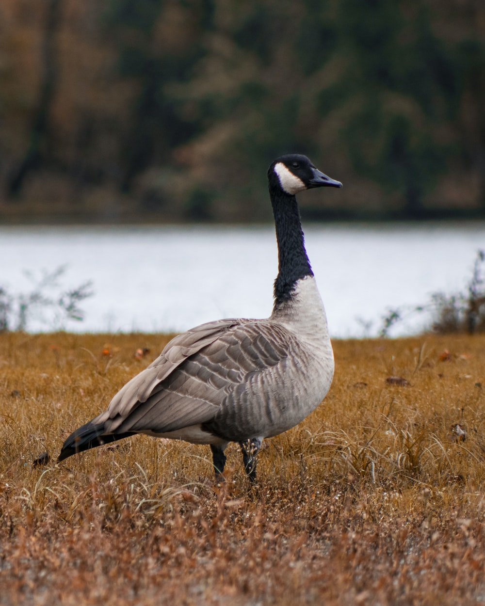 gray and black duck standing on grass field