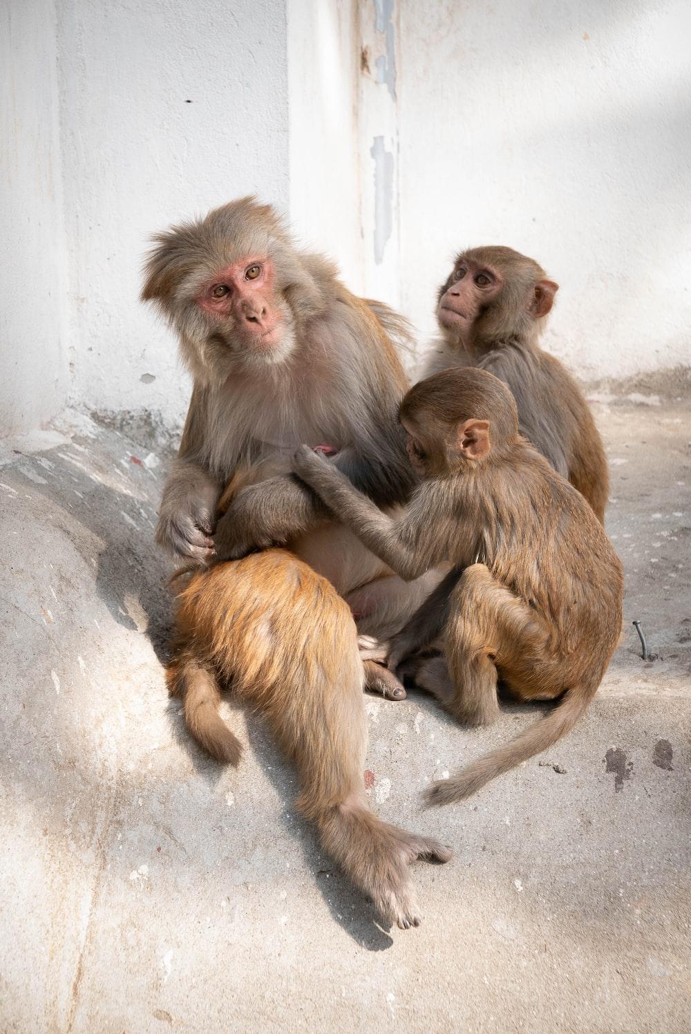 adult monkey surrounded by baby monkeys