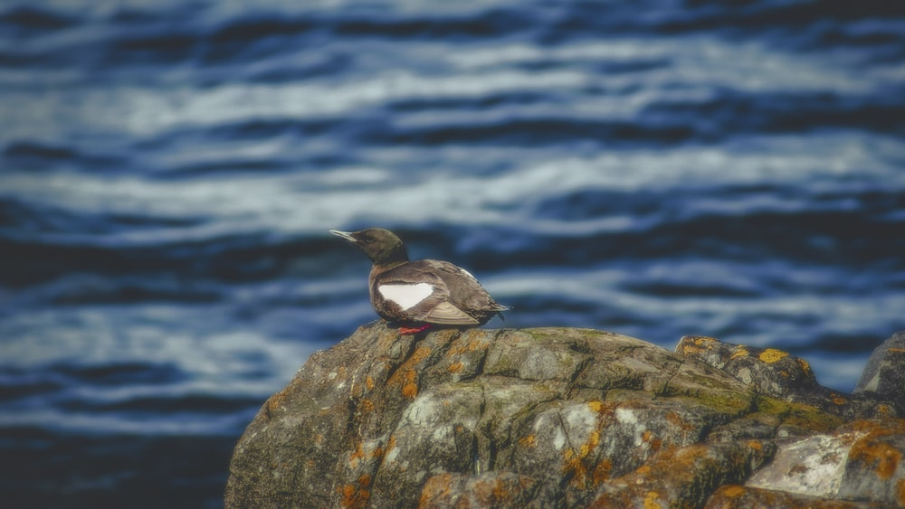 gray duck on rock