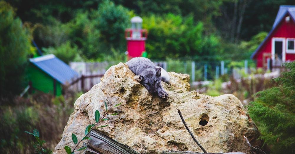 animal lying on rock