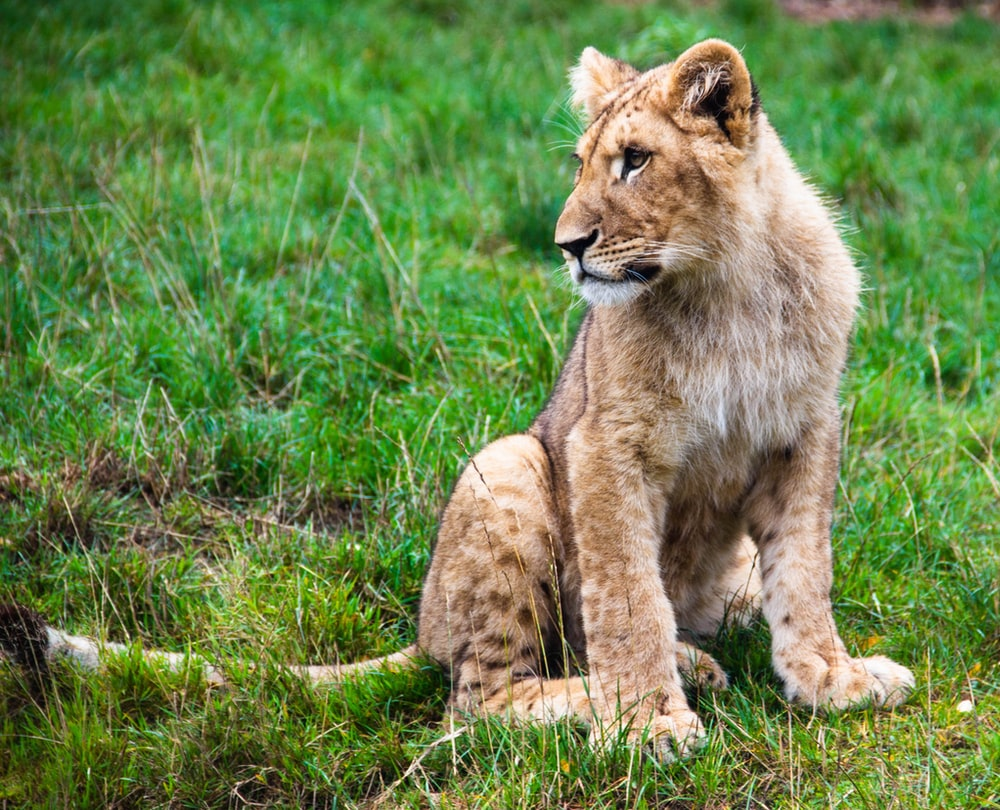 lioness photography