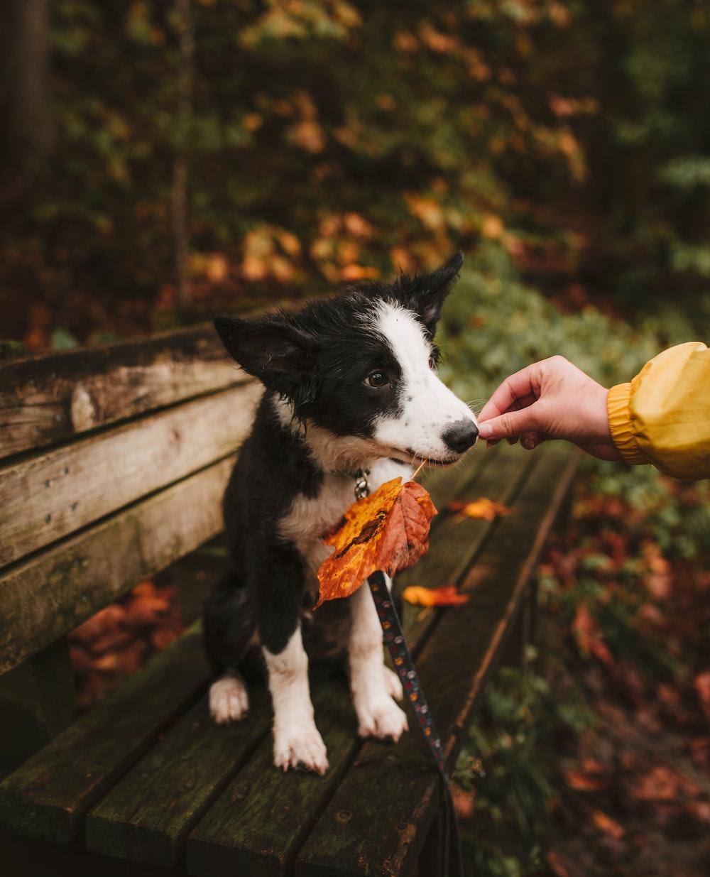 short-coated white and black dog biting orange leaf