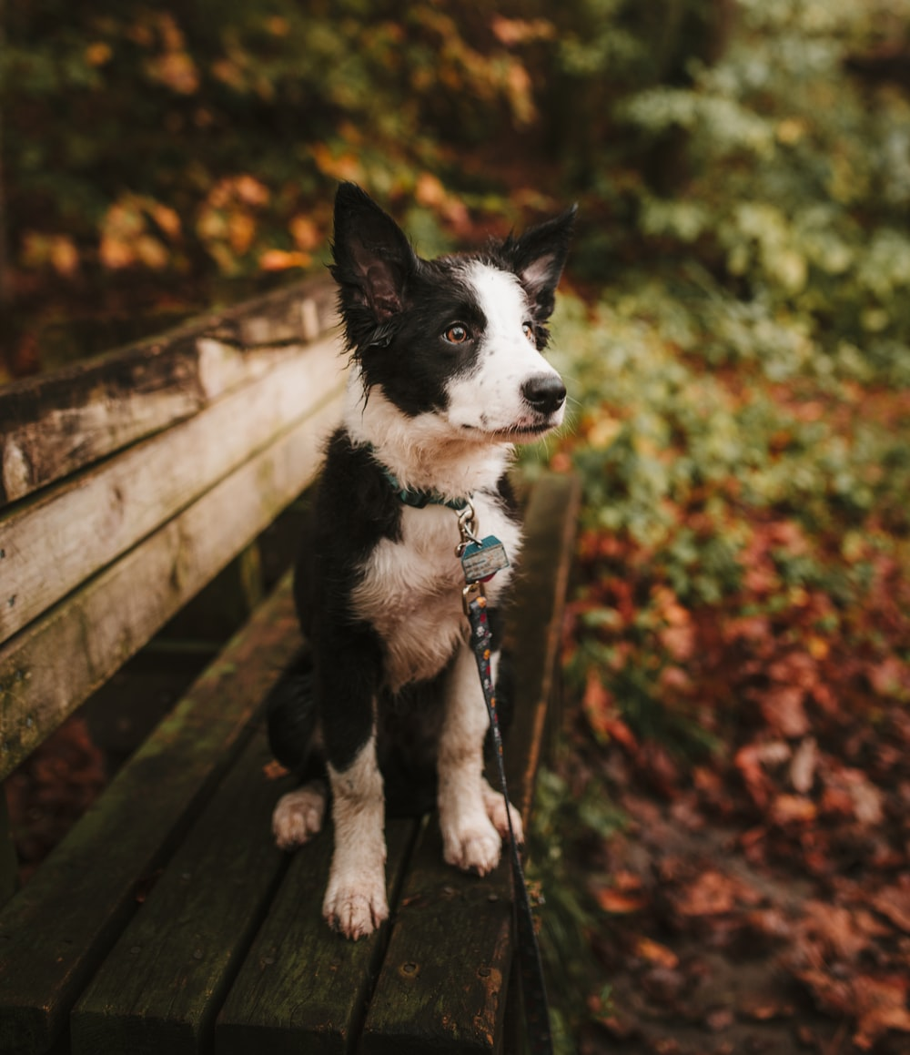 close-up photography of black and white border collie puppy sitting on bench