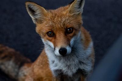 macro photography of red fox