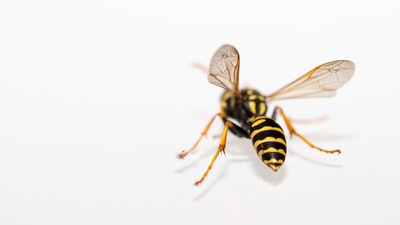 wasps are beautiful and very useful for the environment