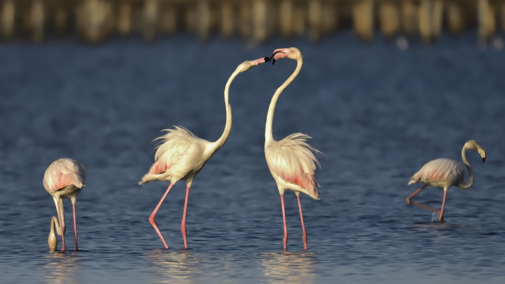 flock of pink flamingos at the body of water