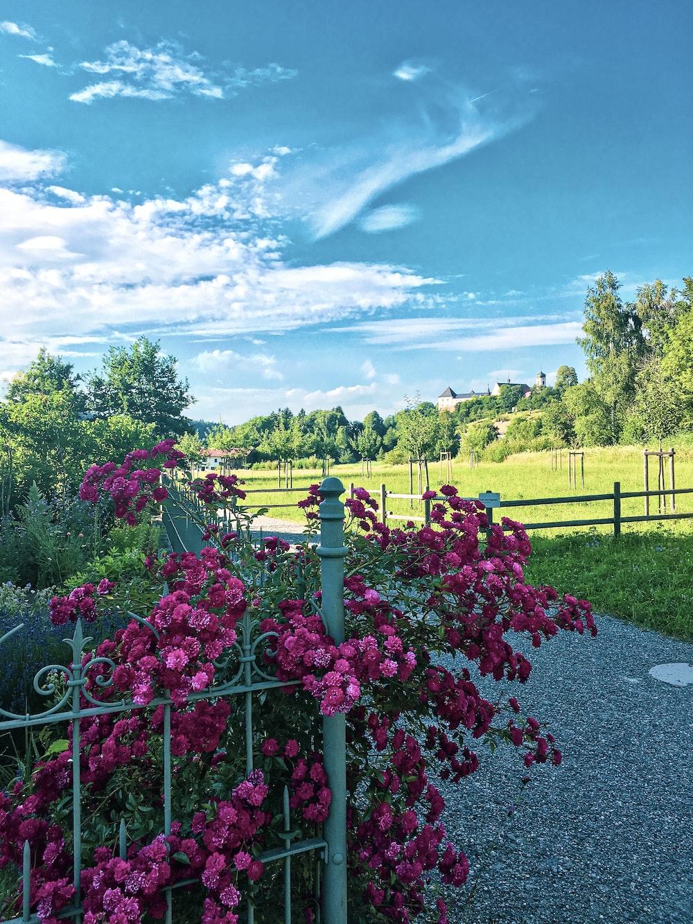 fuchsia flowers by the railings