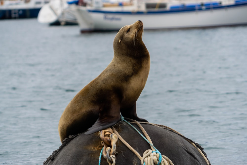 brown seal sitting on a buoy