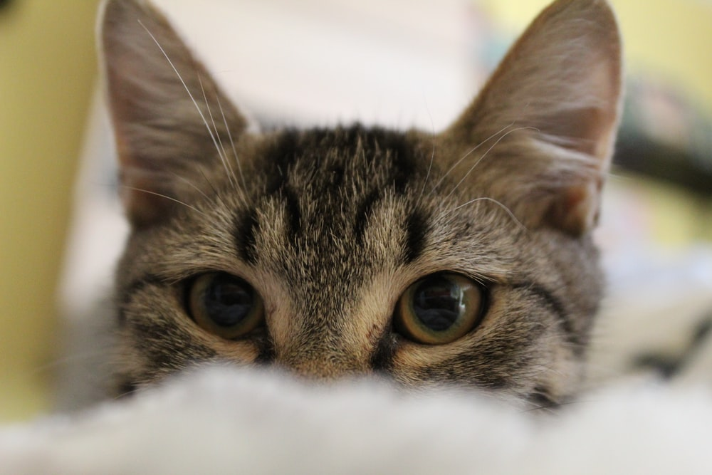 selective focuss photography of gray tabby kitten