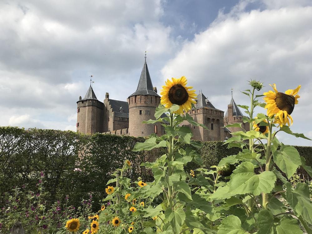 yellow sunflower field near castle