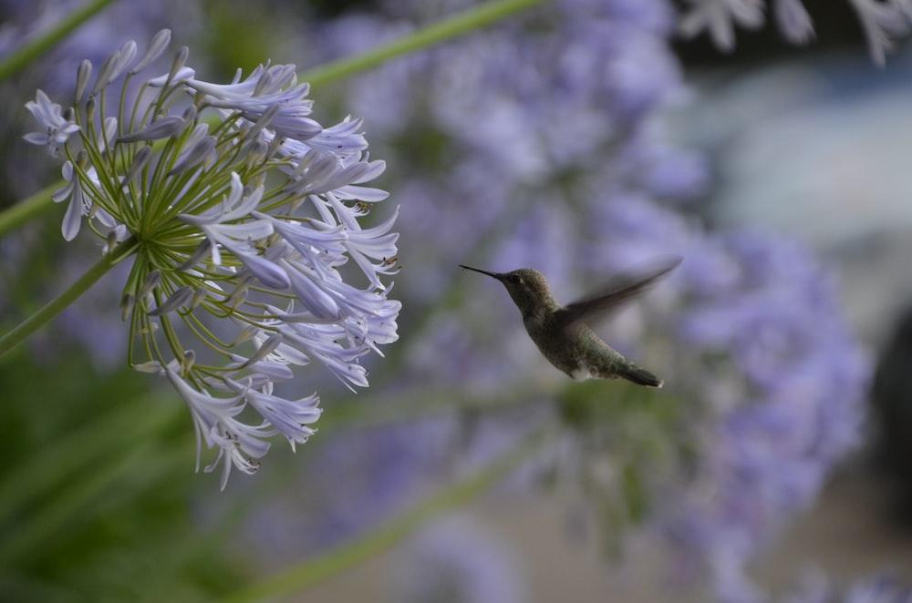 gray hummingbird