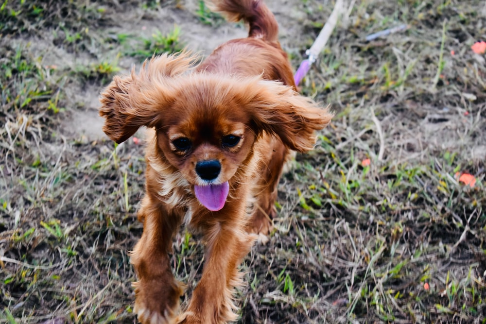 brown long-coat dog on grass