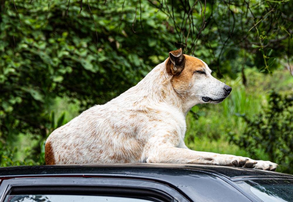 short-coated white and yellow dog