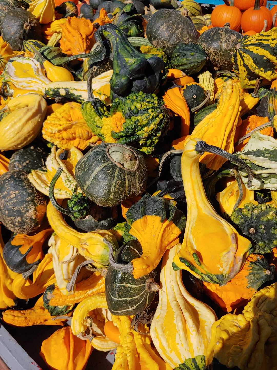 Squashes / Courges